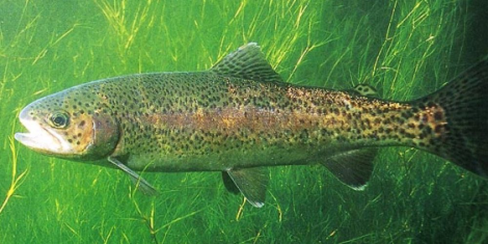 Rainbow trout, Alohtona Kalifornijska (ameriška) postrv, šarenka, Regenbogenforelle, Trota iridea, (Salmo gairdneri) Richardson, 1836