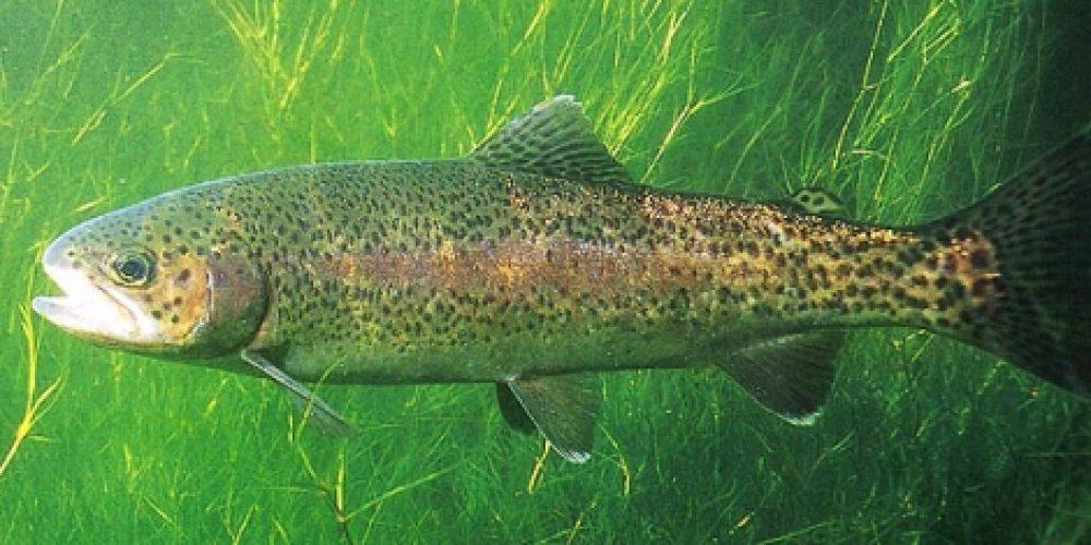 Alohtona Kalifornijska (ameriška) postrv, šarenka, Rainbow trout, Regenbogenforelle, Trota iridea, (Salmo gairdneri) Richardson, 1836